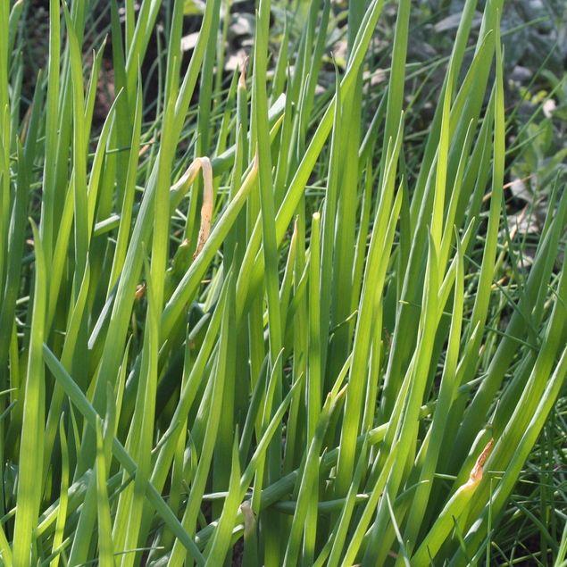 CIBOULE AB - PLANT