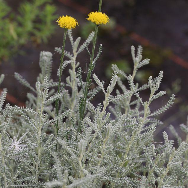 SANTOLINE ARGENTEE - PLANT