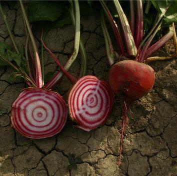 Réussir la culture des legumes potager I-Moyenne-2331-reussir-la-culture-de-la-betterave.net