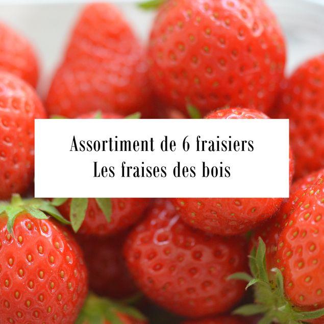 ASSORTIMENT DE 6 FRAISIERS FRAISES DES BOIS