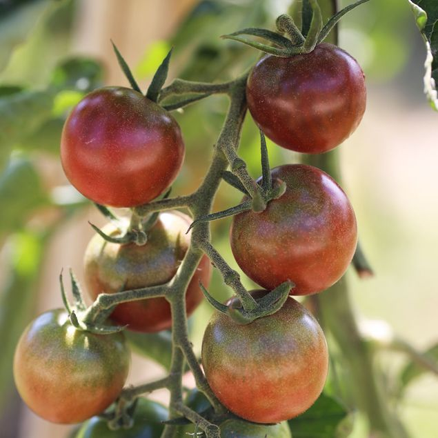 TOMATE BROWN BERRY AB