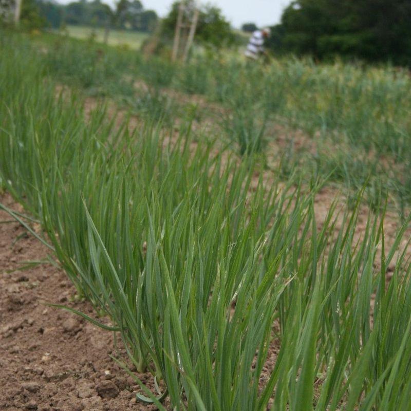R ussir la culture des oignons ferme de sainte marthe for Planter oignon